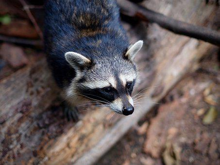 Raccoon, Procyon, Mammal, Nature, Animal, Cute, Face