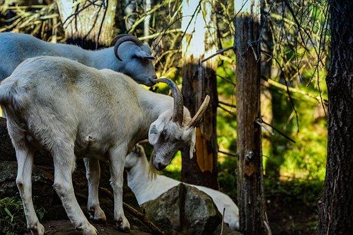 Goat, Horns, Farm, Outdoor, Livestock, Animal