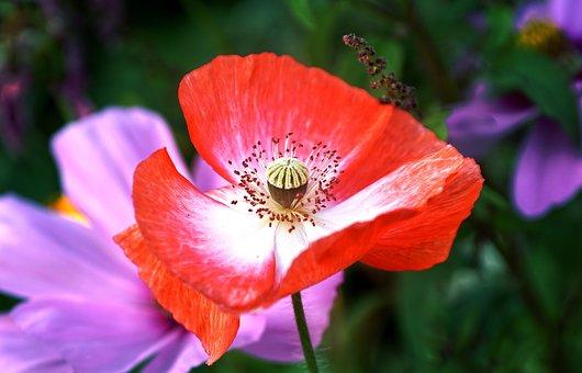 Poppy Flower, Red, White, Poppy, Summer, Flower