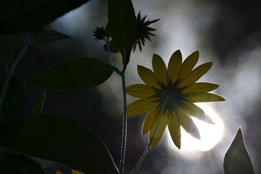 Flower, Dark, Sunflower, Light, Shadow, The Mystical