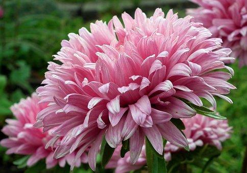 Astra, Flowers, Garden, Pink, Autumn, Macro, Beautiful