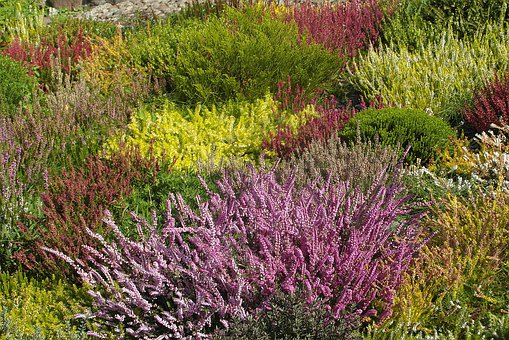 Heathers, Colorful, Garden, Flowers, Flowering, Nature