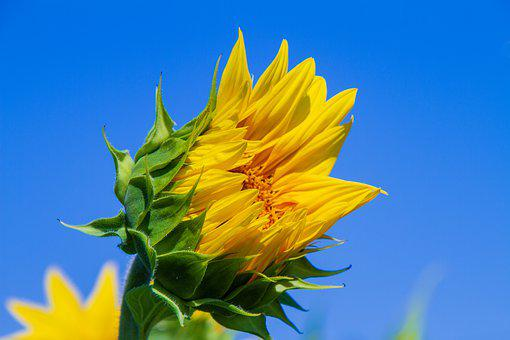 Sunflower, Yellow, Bloom, Half Closed, Blossom, Bloom