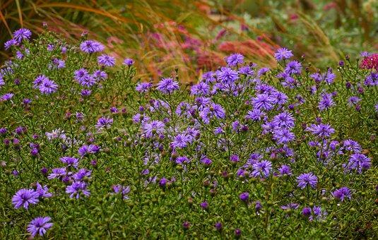 Aster, Herbstaster, Autumn, Blossom, Bloom, Flowers