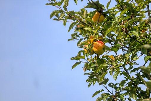 Apple Tree, Apple, Fruit, Kernobstgewaechs, Ripe
