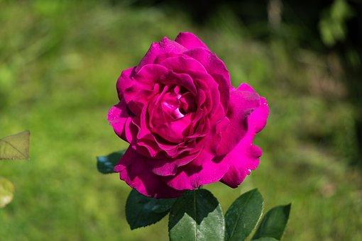 Rose, Flower, Petals, Leaves, Nature, Summer, Garden