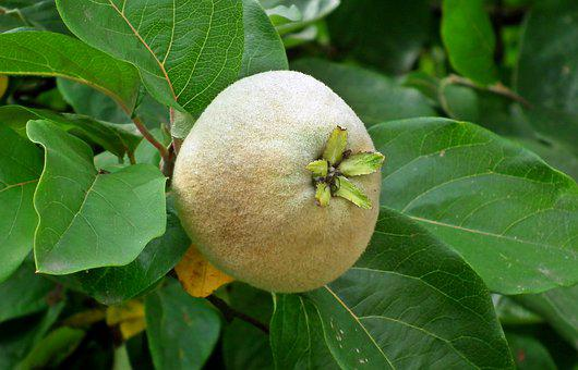Quince, Fruit, Garden, Tree, Foliage, Mature, Vitamins