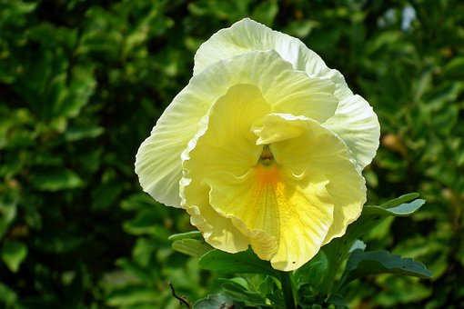 Pansies, Flowers, Summer, Garden, Nature, Blooming