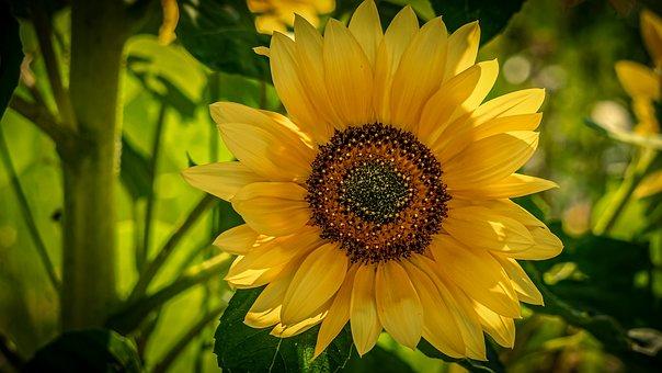 Flower, Sunflower, Blossom, Bloom, Bloom, Nature, Park