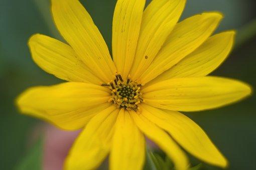 Flower, Yellow, Primrose, Figure, Plant, Garden