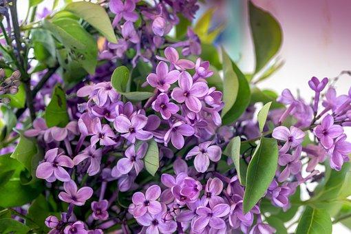 Lilac, Spring, Lilac Flower, Lilac Tree, Purple Flower