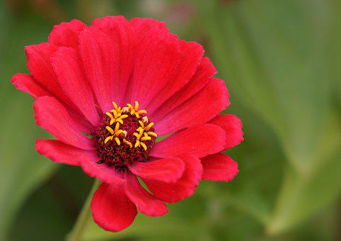 Red Flower, Flowers, Stamp, Red, Colorful, Plant