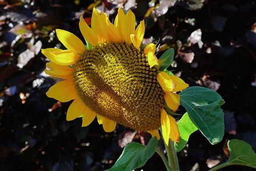 Sunflower, Bloom, Late Summer, Garden, Yellow, Nature