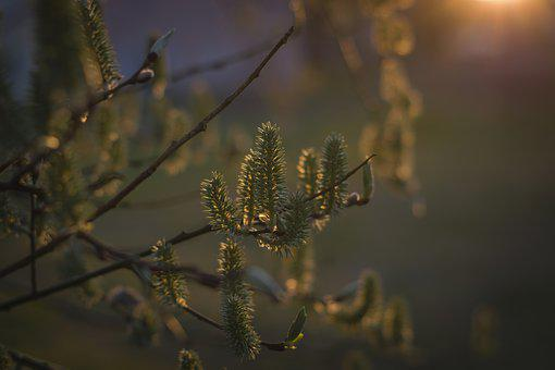 Birch, The Buds, Tree, Evening, The Sun, West, Branch