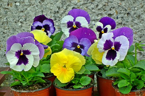 Pansies, Flowers, Colorful, Garden, Nature, The Petals