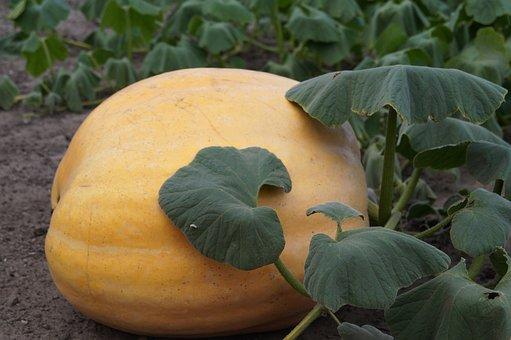 Pumpkin, Field, Orange, Halloween, Vegetables, Autumn