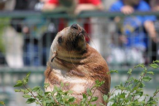 Sea Lion, Seal, Robbe, Meeresbewohner, Water Creature
