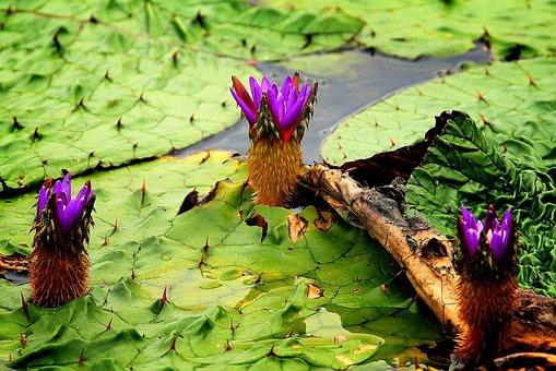 The Demonstration, Kite, Lotus, Water Lilies