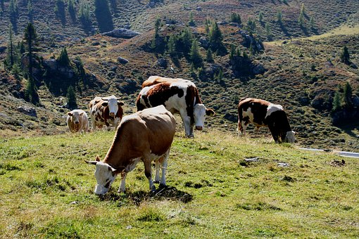 Alm, Cows, Meadow, Landscape, Pasture, Animal