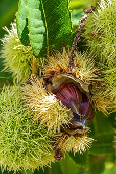 Chestnut, Tree, Fruit, Spur, Autumn, Edible