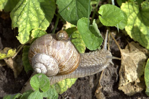 Snail, Mollusk, Baby Snail, Close Up, Macro, Creature