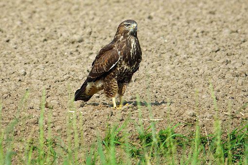 Common Buzzard, Bird Of Prey, Bird, Plumage, Nature