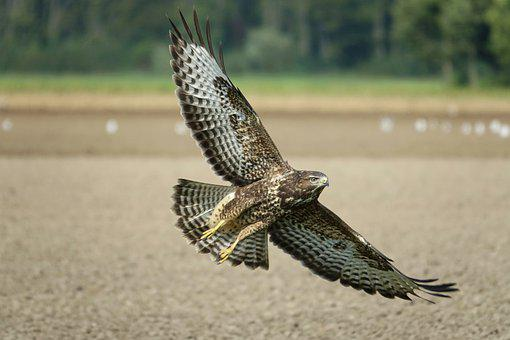 Common Buzzard, Bird Of Prey, Bird, Animal World, Wings