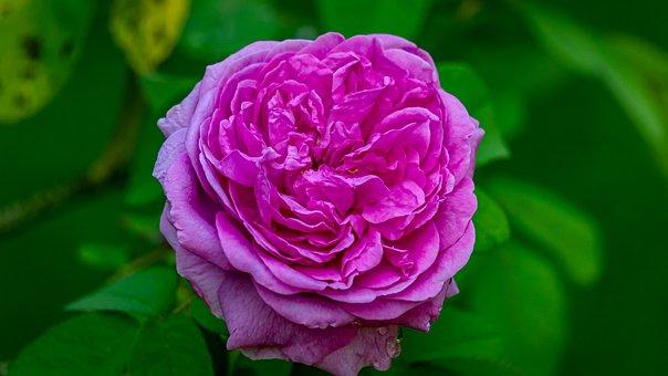 Flower, Rose, Blossom, Bloom, Nature, Romantic