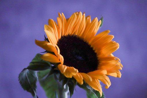 Sunflower, Blossom, Bloom, Yellow, Violet, Background