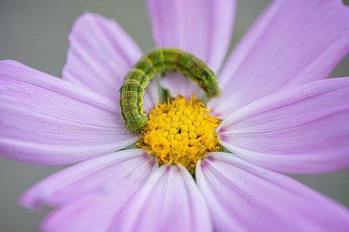 Cosmos, Bug, Insects, Nature, Star, Flowers, Macro