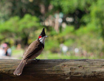 Red Whiskered Bulbull, Bulbull, Pycnonotus Jocosus