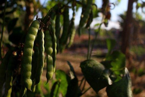 Bean, Pea Plant, Cassava Root, Garden, Plant, Fruit