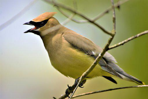 Bird, Cedar Waxwing, Perched, Open Mouth, Black Mask