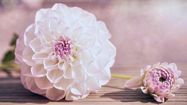 Dahlia, Flowers, Bloom, Dahlias Bud, Dahlias