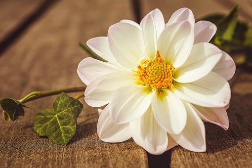 Dahlia, Blossom, Bloom, Flower Garden, Dahlia Garden
