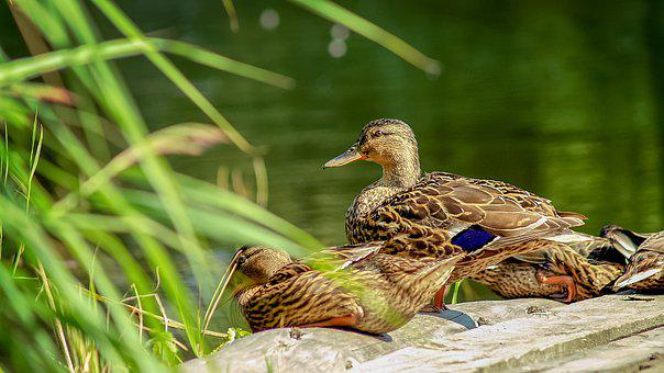Ducks, Duck, Crossword, Bird, Animals, Plumage, Birds