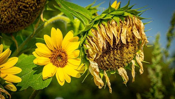 Sunflower, Faded, Nature, Blossom, Bloom, Flower
