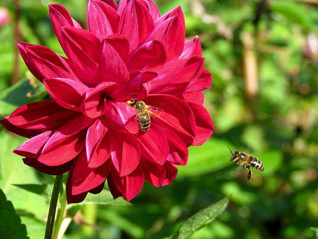 Flower, Dahlia, Bee, Flies, Insect, Red, Petals, Flora