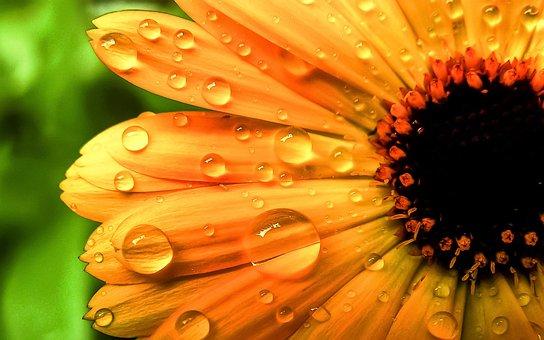 Flower, Orange, Drops, Water, Nature, Plant, Flowers