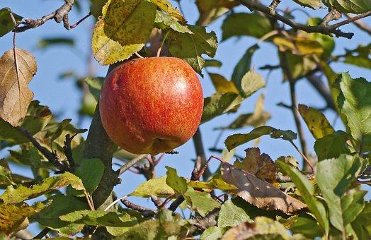 Apple, Ripe, Autumn, Harvest, Fresh, Red, Healthy