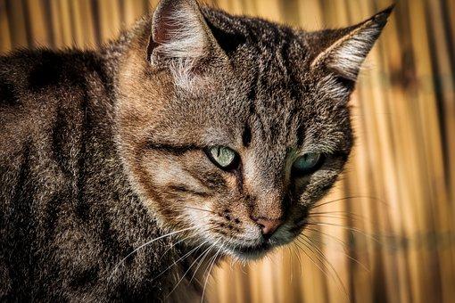 Cat, Tiger, Muzzle, Head, Predator, Fur, Mammal, Feline