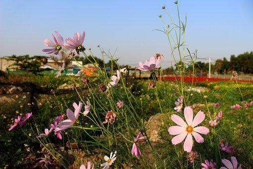 Cosmos Bipinnatus, Flowers, Happy, Pink Flowers, Cosmos