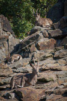 Goat, Rock, Horns, Wildlife, Alpine, Rocks, Mammal