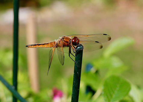Animal, Insect, Lybelle, Wing, Close Up, Animal World