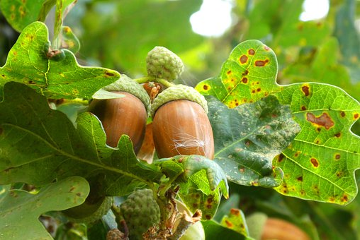 Acorns, Boomvruchten, Autumn, Leaves, Oak Tree