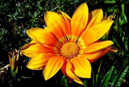 Gazania, Flower, Nature, Summer, Garden, Macro, Closeup