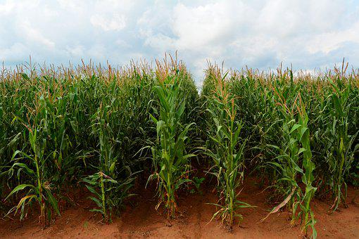 Maize, Corn, Field, Zea Mays, Mpumalanga, South Africa