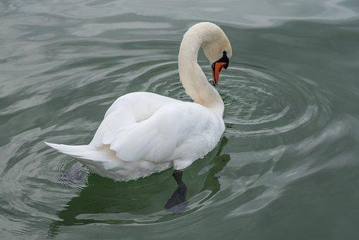 Swan, Bird, Water, Nature, Animal, White, Elegant, Lake