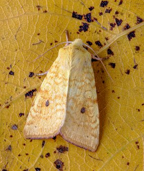 Sallow, Moth, Wings, Lepidoptera, Insect, Nature