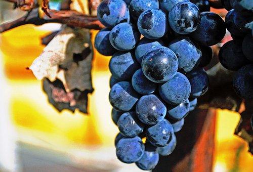Grape, Tree, Fruit, Plant, Outdoors, Nature, Wine